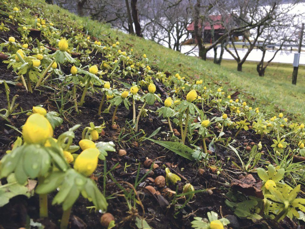 Blomstring på Linge 18. januar. Foto: Vigdis Linge
